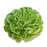 Dutch Butterhead Lettuce*